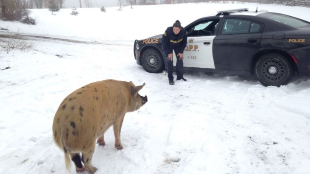 missing-lost-sow-pig-lanark-highlands-opp.JPG